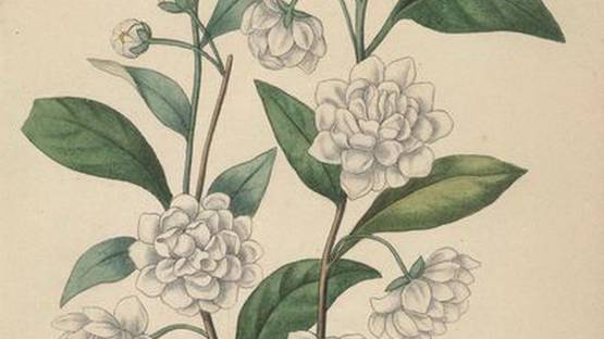 Francois Herincq - Prunus Chinensis