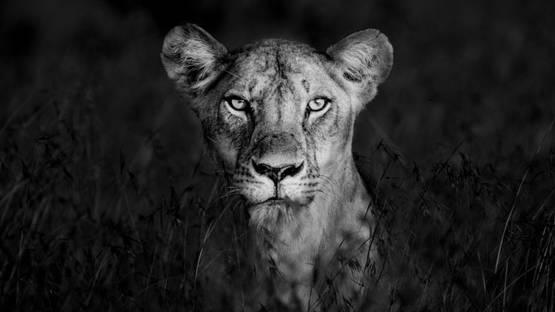 James Lewin - Shadow Huntress, Borana, Kenya, 2019 (detail)