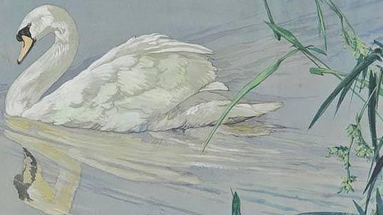 Kathleen Irene Nixon - A Mute Swan (detail)