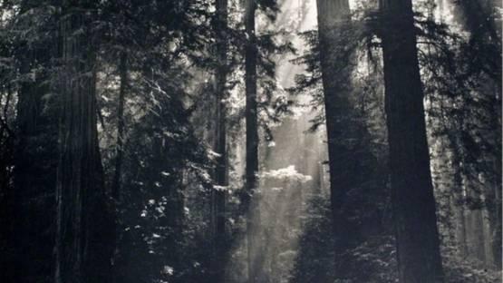 Nat Farbman - Redwood Forest, 1972 (detail)