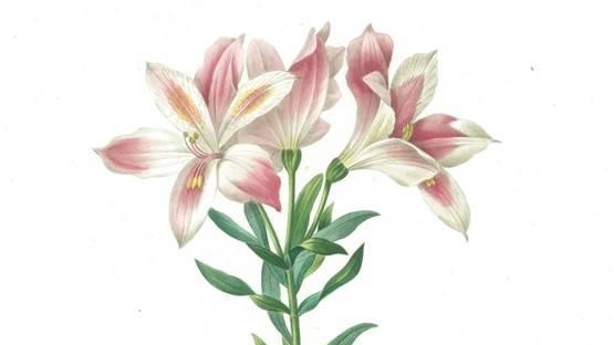 Pierre-Joseph Redouté - Alstroemeria Pelegrina, 1827 (detail)