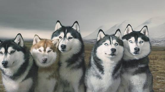 Tim Flach - Haskies Group Portrait