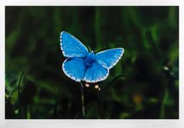 Damien Hirst - Adonis Blue Butterfly, 2011