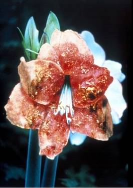 Mat Collishaw - Infectious Flowers (Intra Epidermal Carcinoma), 1996