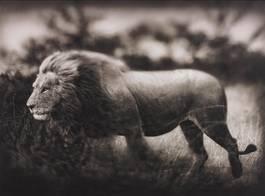 Nick Brandt - Windswept Lion, Serengeti, 2002