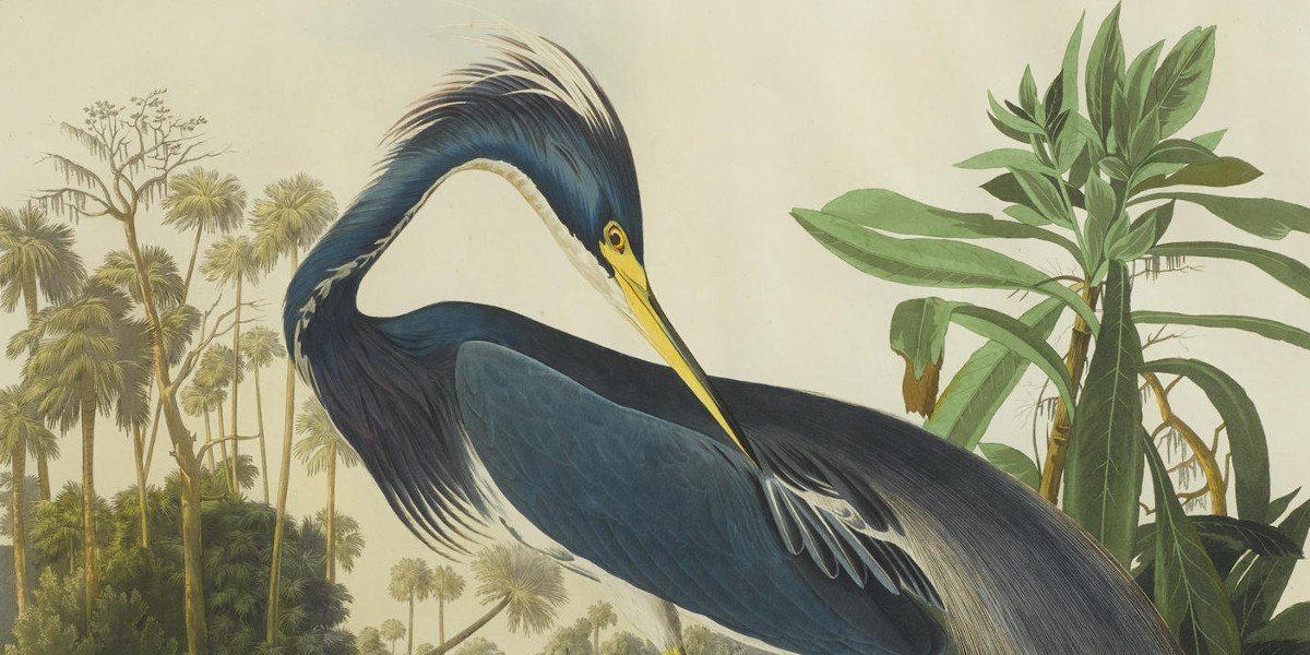 After John James Audubon - Louisiana Heron (Pl. CCXVII) (Detail), 1832