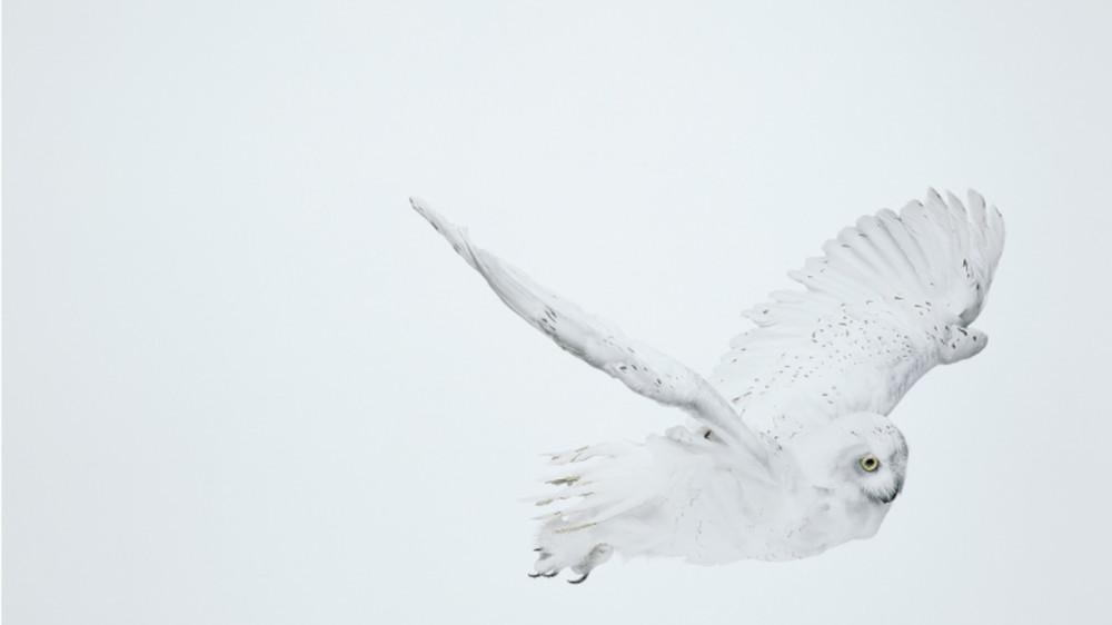 Andrew Zuckerman - Snowy Owl 32, 2008 (detail)