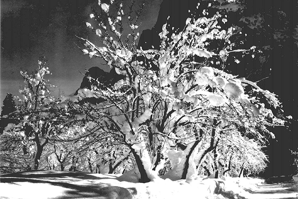 Ansel-Adams-Half-Dome-Apple-Orchard-Yosemite-trees-with-snow-on-branches-April-19331